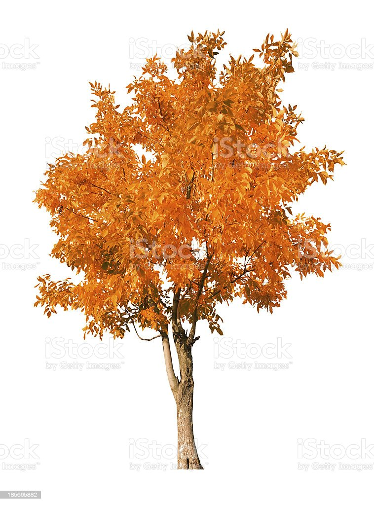 single orange autumn tree isolated on white stock photo