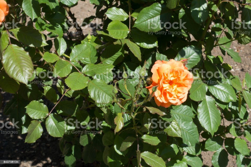 Single orange flower and closed buds of rose stock photo