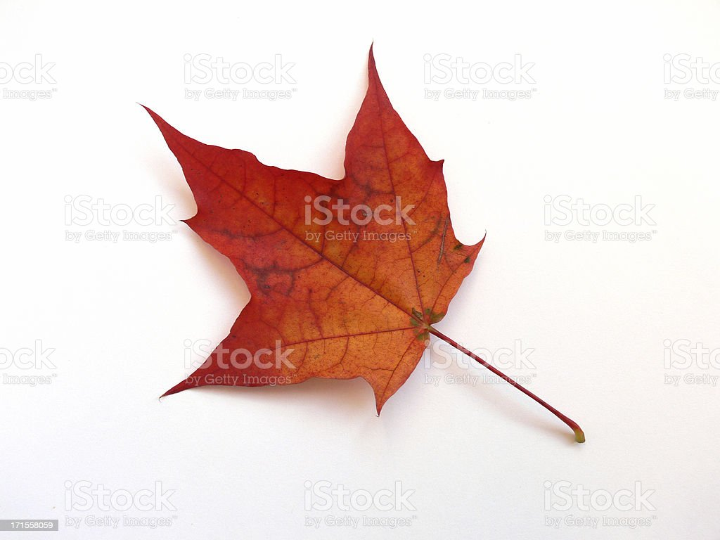 Single orange gradient autumn leaf  stock photo