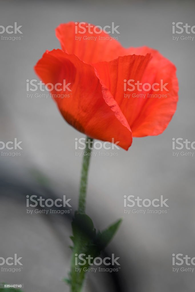 Single Orange Oriental Poppy stock photo