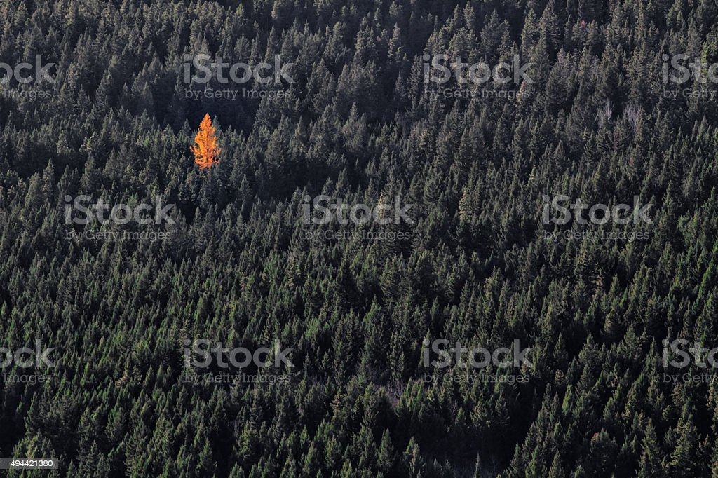 single orange tree in green forest stock photo