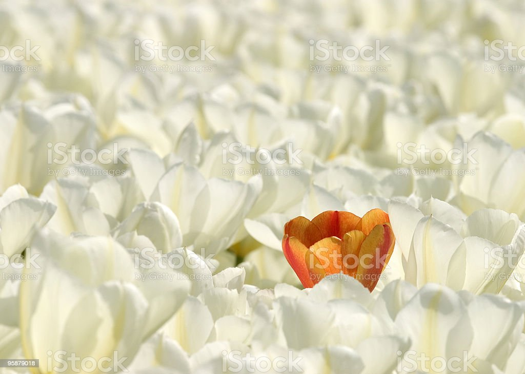 single orange tulip in a field of white tulips royalty-free stock photo