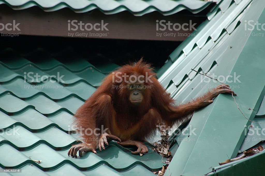 Single Orangutan on Tiled Roof in Borneo stock photo