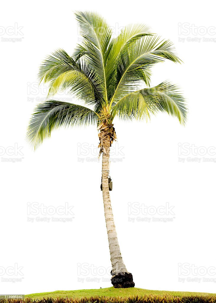 Single Palm tree on grassy lawn  stock photo