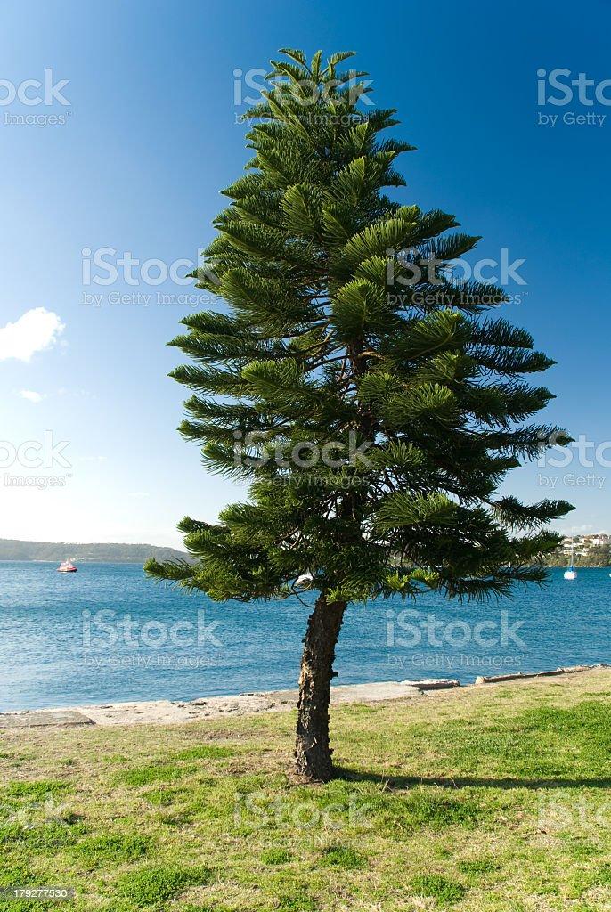 A single pine tree on Norfolk Island royalty-free stock photo