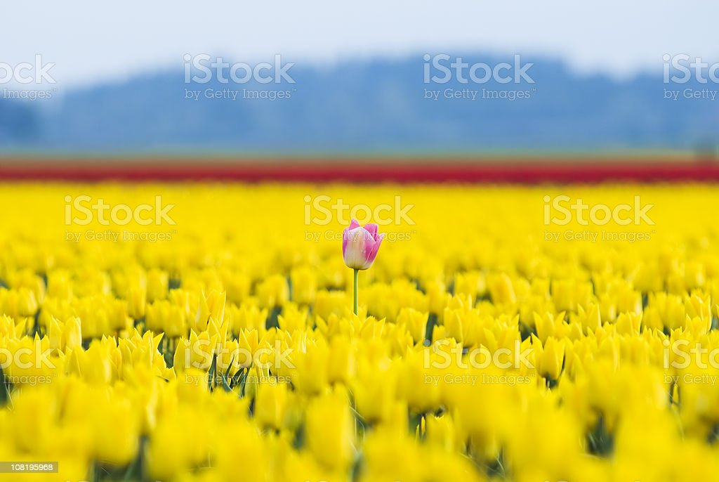 Single pink and white tulip in a field of yellow royalty-free stock photo