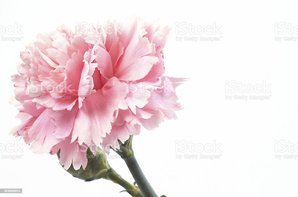 A single pink carnation with vibrant color stock photo