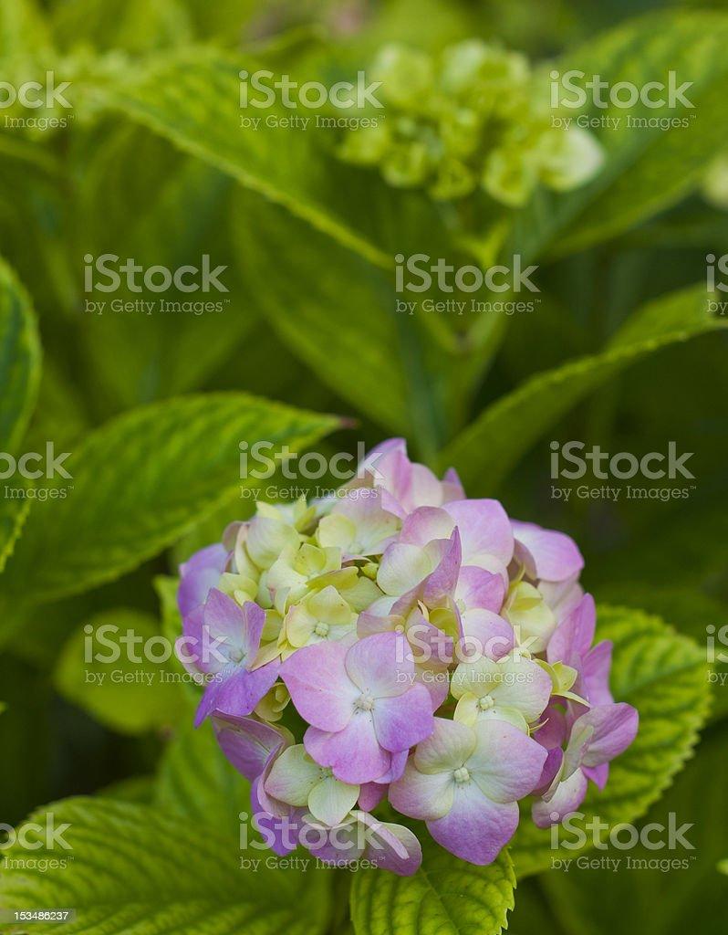 Single pink flower royalty-free stock photo