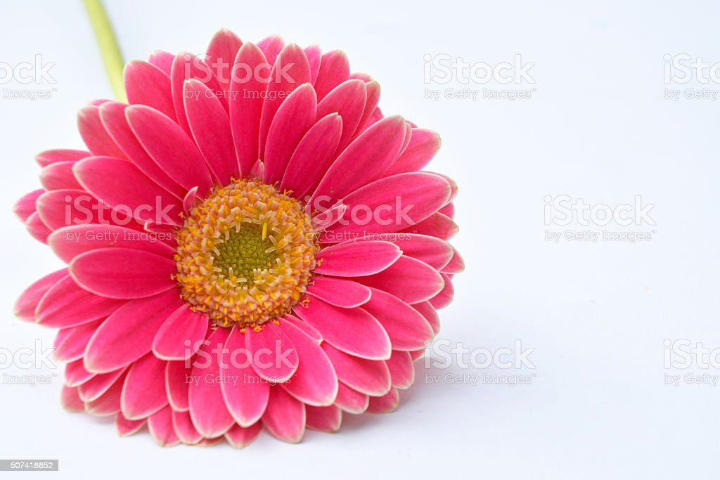 Single pink gerber daisies with empty white copy space background stock photo