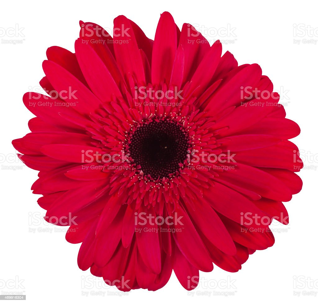 Single Pink Gerbera Flower Isolated On White Background Stock Photo
