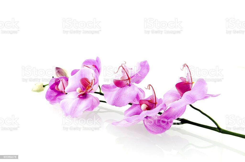 Une seule rose Orchidée photo libre de droits