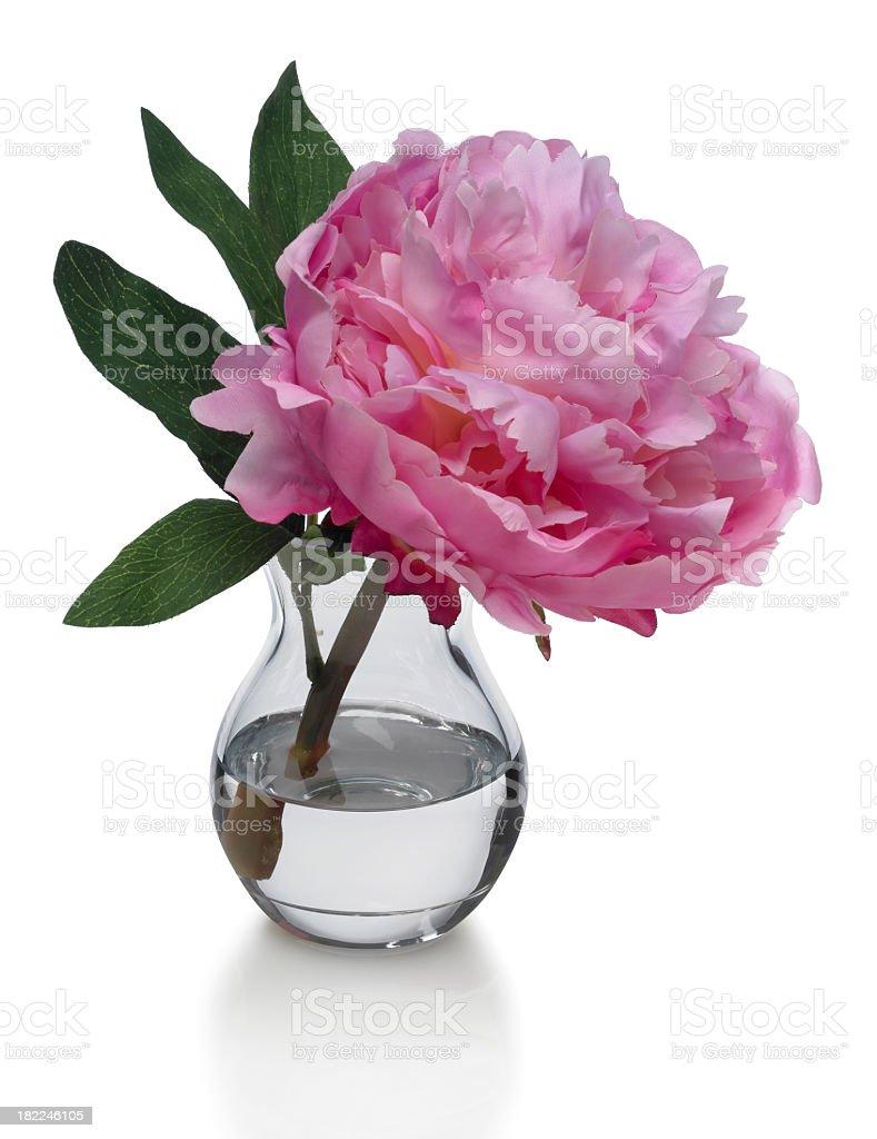Single Pink Peony in Vase on white background stock photo