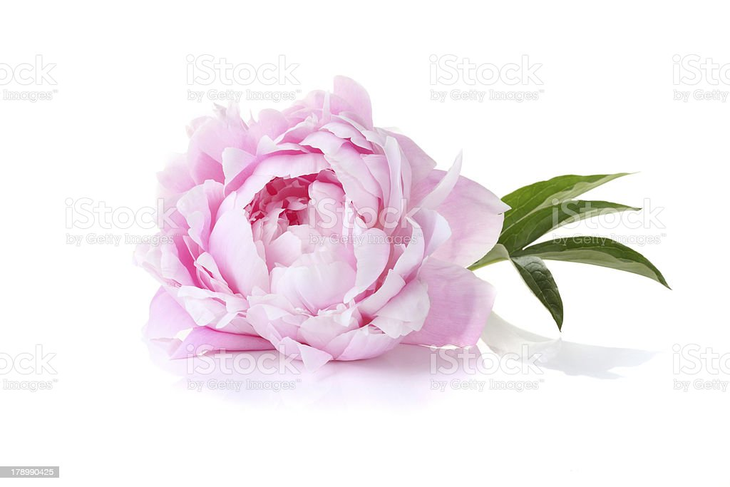 Peony Pictures Images And Stock Photos Istock