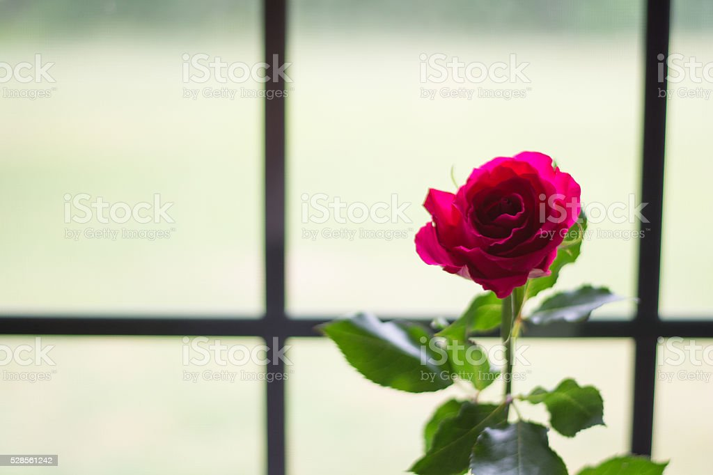 Single Pink Rose by Windown stock photo