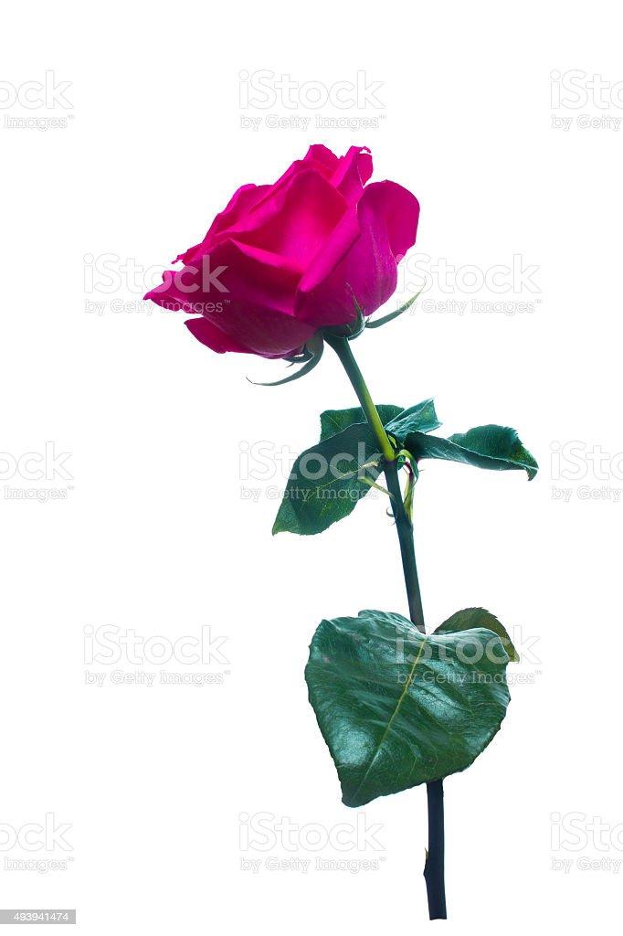 single pink rose  isolated  background stock photo