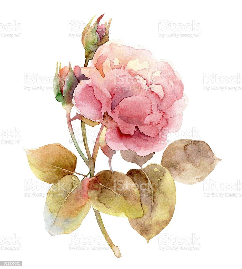 Single pink rose on white background stock photo