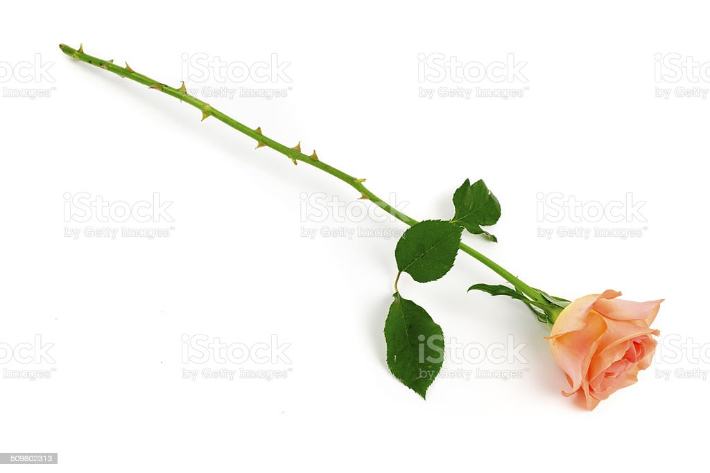 Single pink rose stock photo
