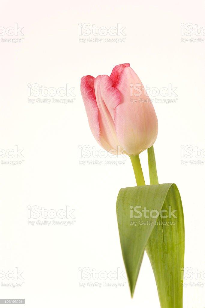 Single Pink Tulip stock photo