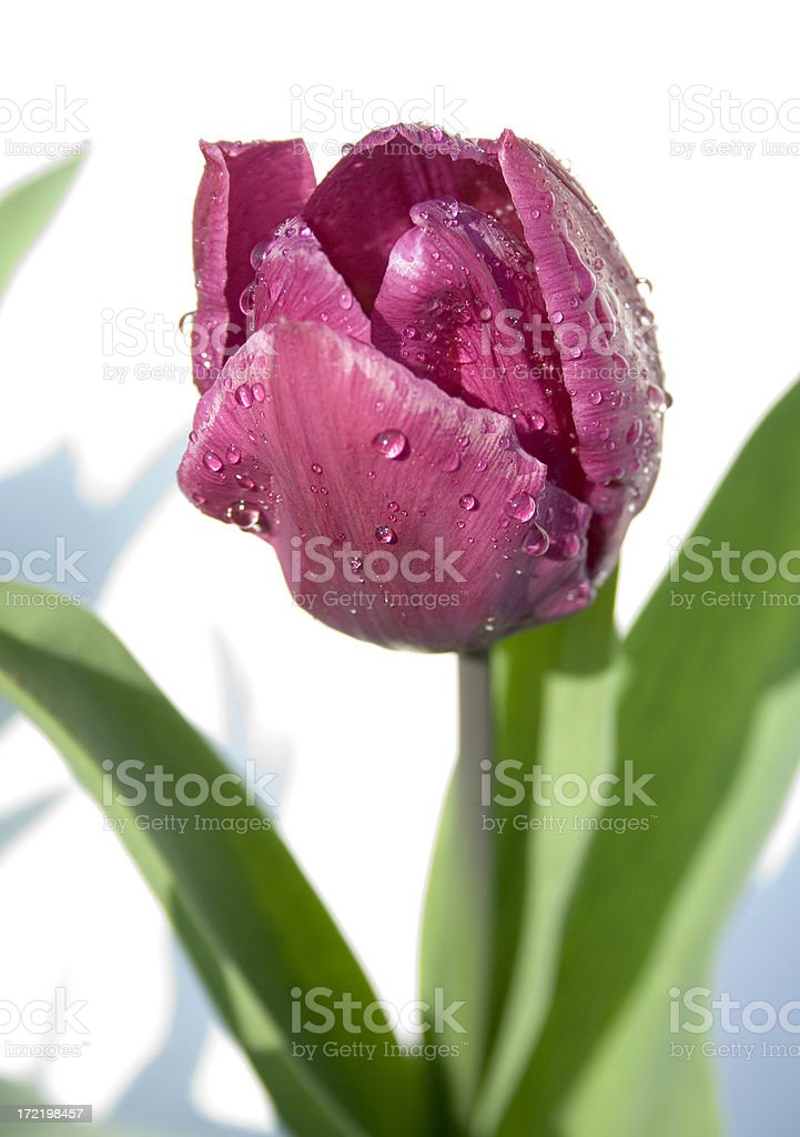 single pink tulip with water droplets royalty-free stock photo