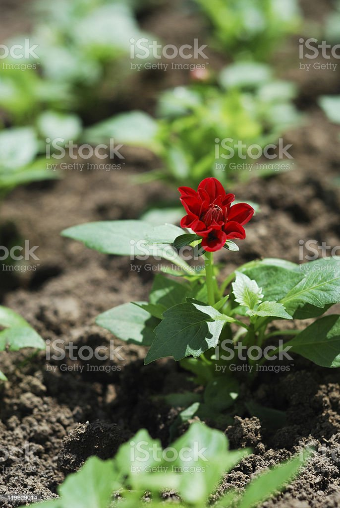 Single plant with flower in spring flowerbed. royalty-free stock photo