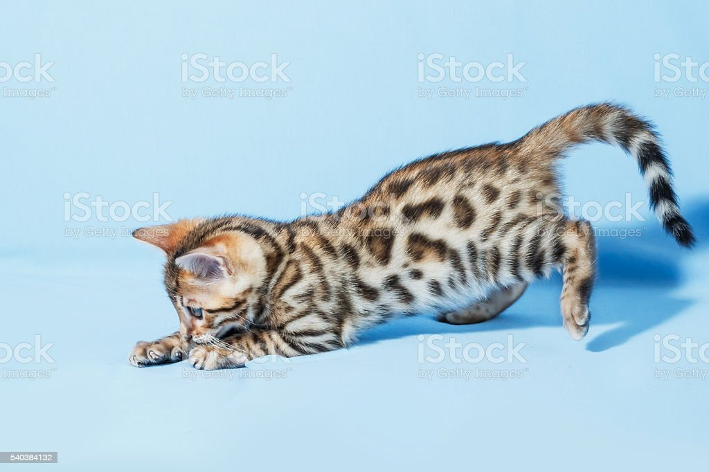 Single playful brown spotted bengal kitten on neutral blue background stock photo