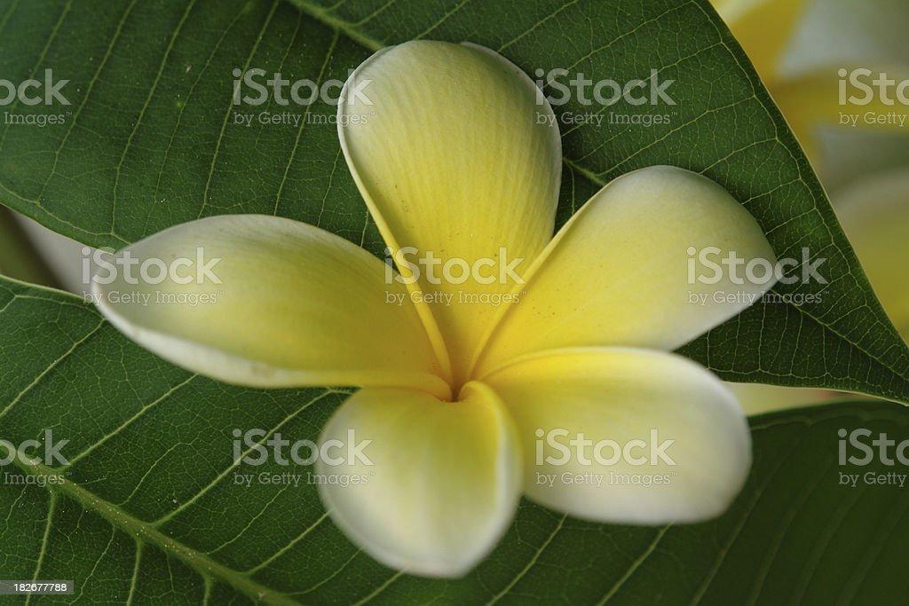 Single Plumeria Blossom stock photo