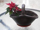 Single poinsetta in soil