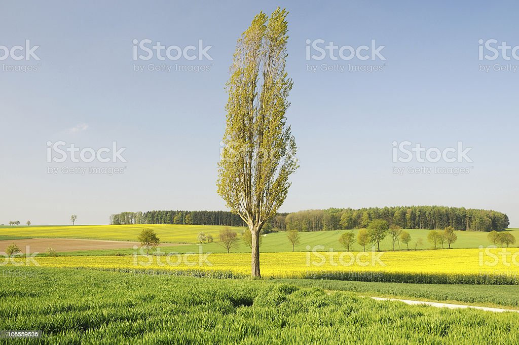 Single Poplar with Canola Fields stock photo