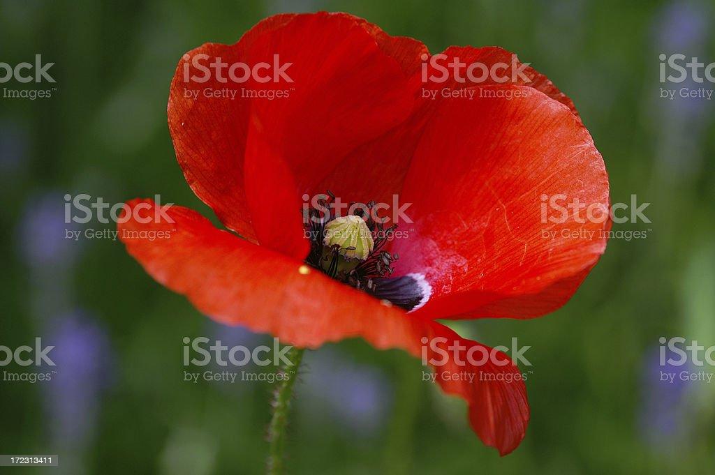 Single poppy 1 royalty-free stock photo