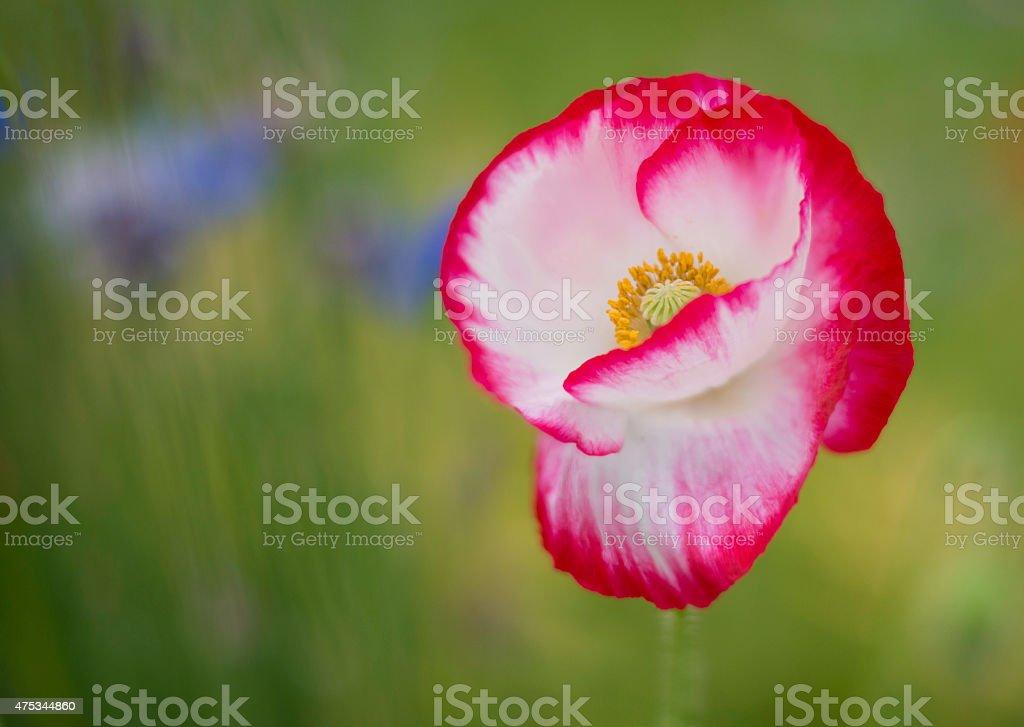 Single Poppy flower in a green field royalty-free stock photo