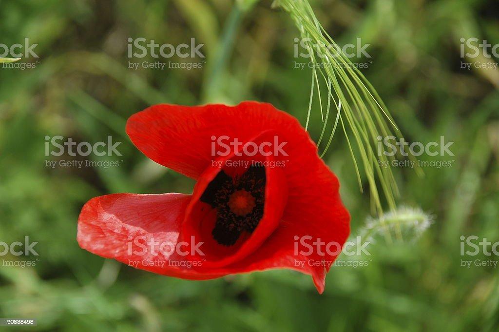 single poppy flower inside stock photo