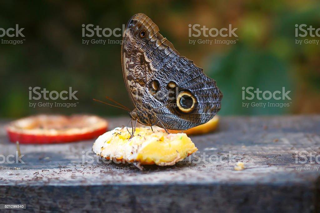 Single Postman Butterfly or Common Postman  feeding on fruits stock photo