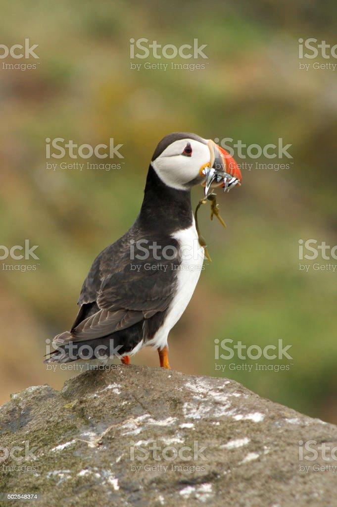 Single puffin with sandeels in beak stock photo