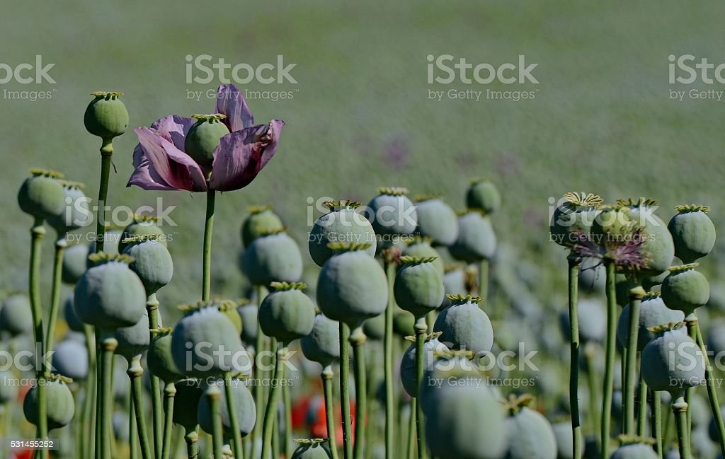 Single purple flower poppy on poppy field stock photo