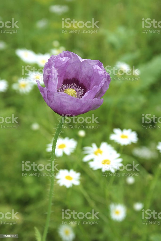 Single purple poppy stock photo