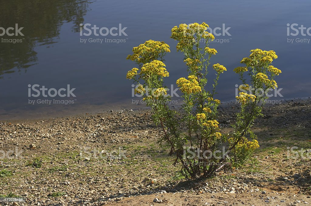 Single ragwort plant Senecio jacobaea beside water stock photo