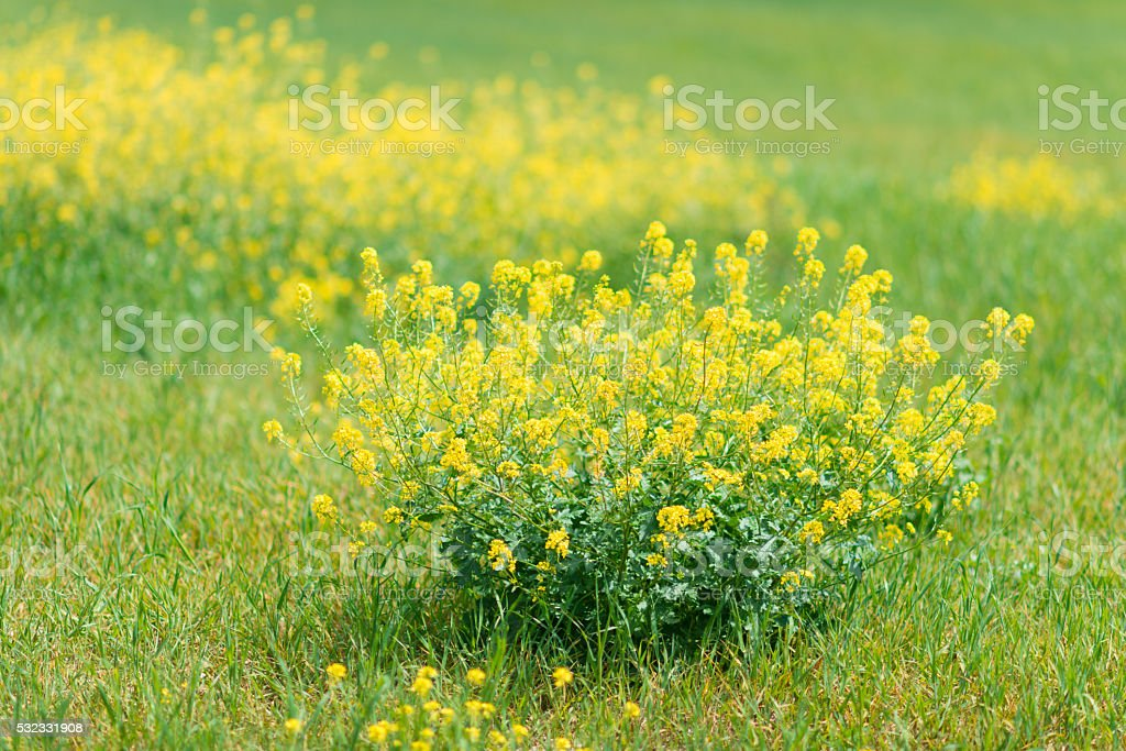single rapeseed plant on meadow stock photo