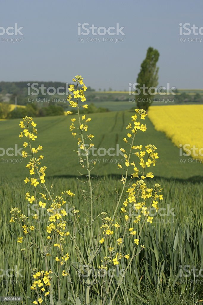 Single Rapeseed Plant stock photo