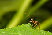 Single Red Ant