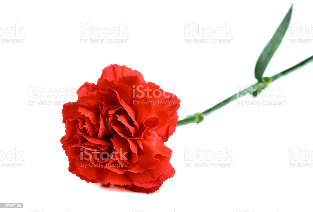 Single Red Carnation flower  on white stock photo