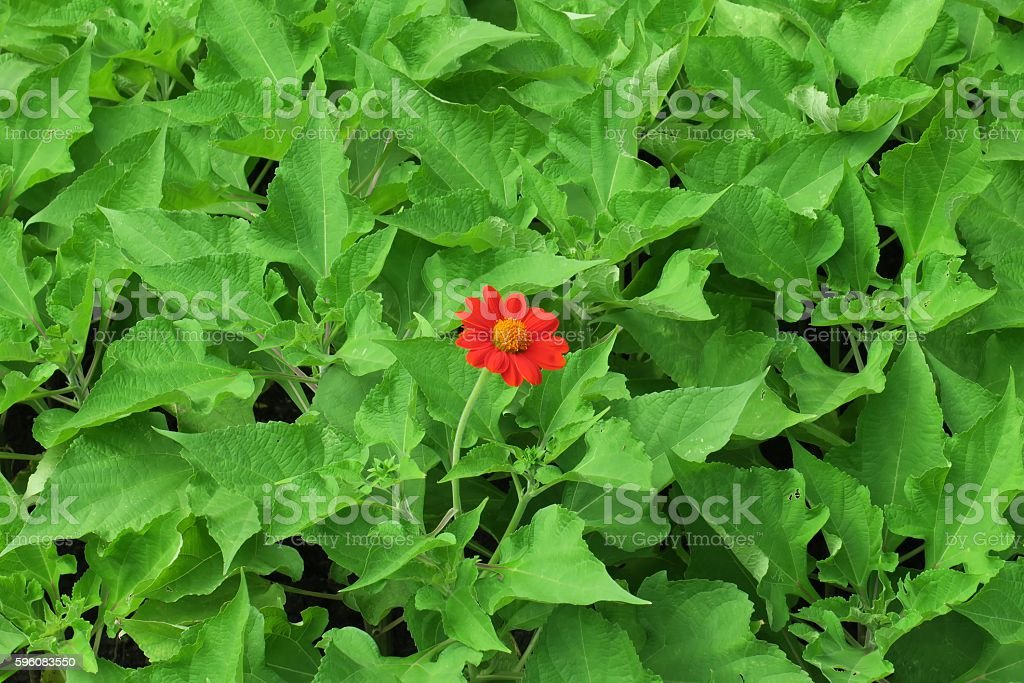 Single red flower on green leaves natural background. stock photo