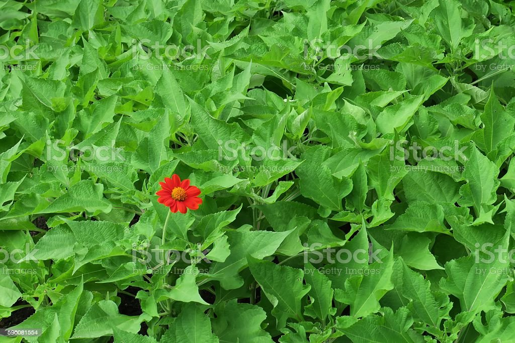 Single red flower on green leaves stock photo