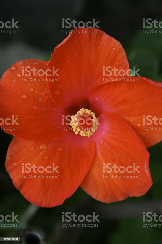 Single Red Flower royalty-free stock photo