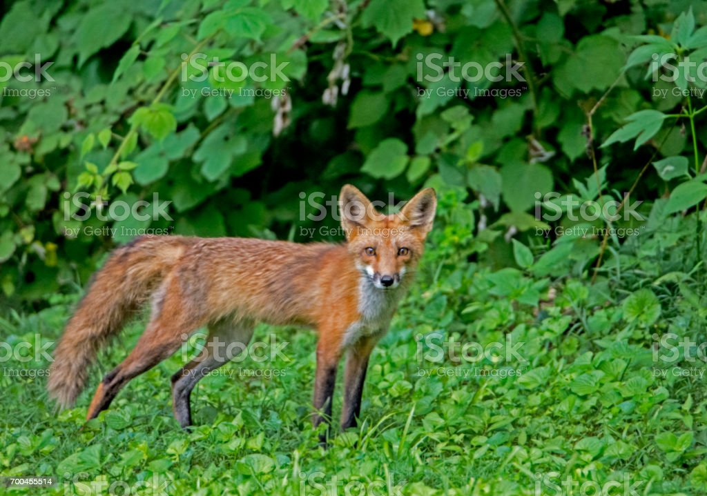 Single Red Fox in a field of greenery. stock photo
