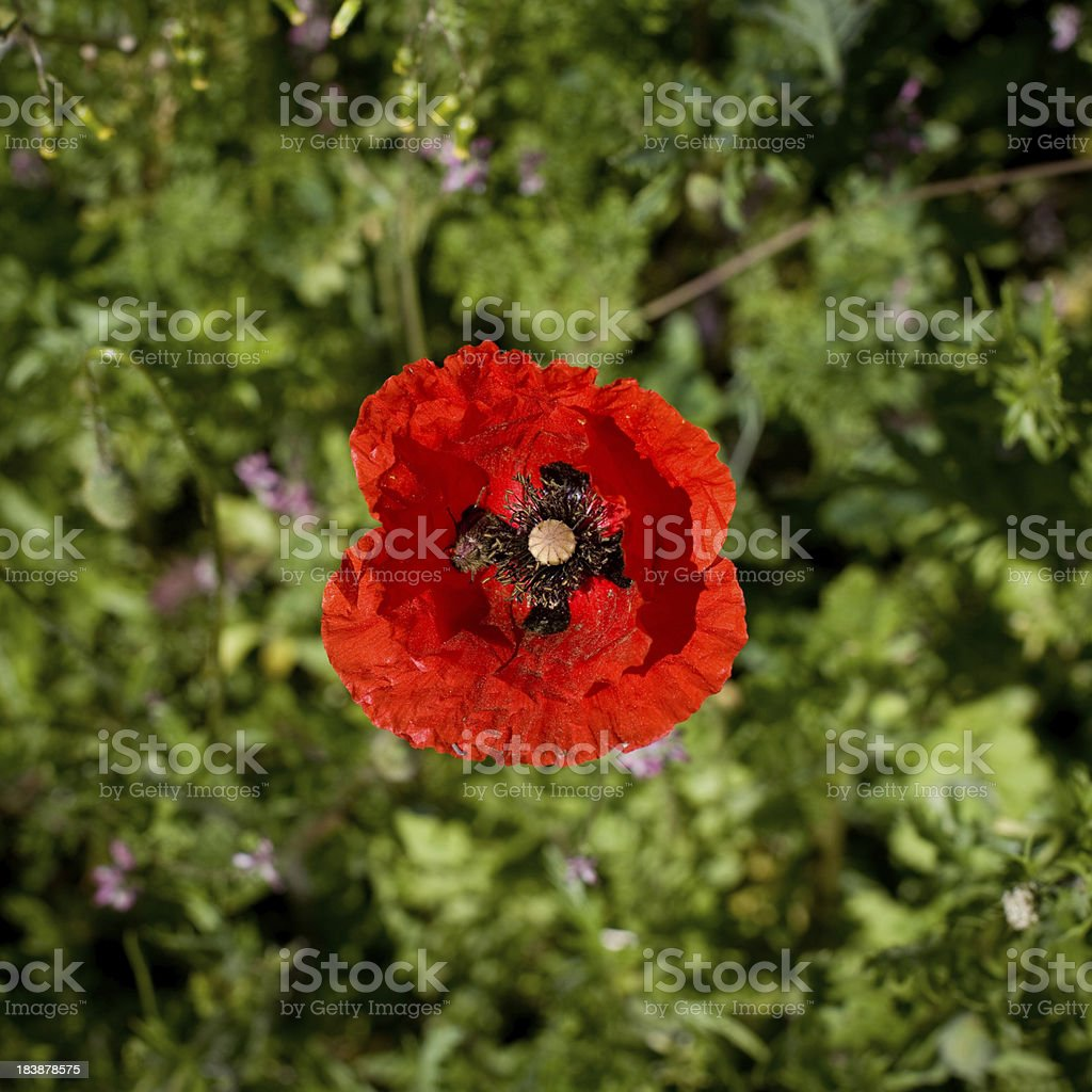 Single red poppy, directly above view royalty-free stock photo