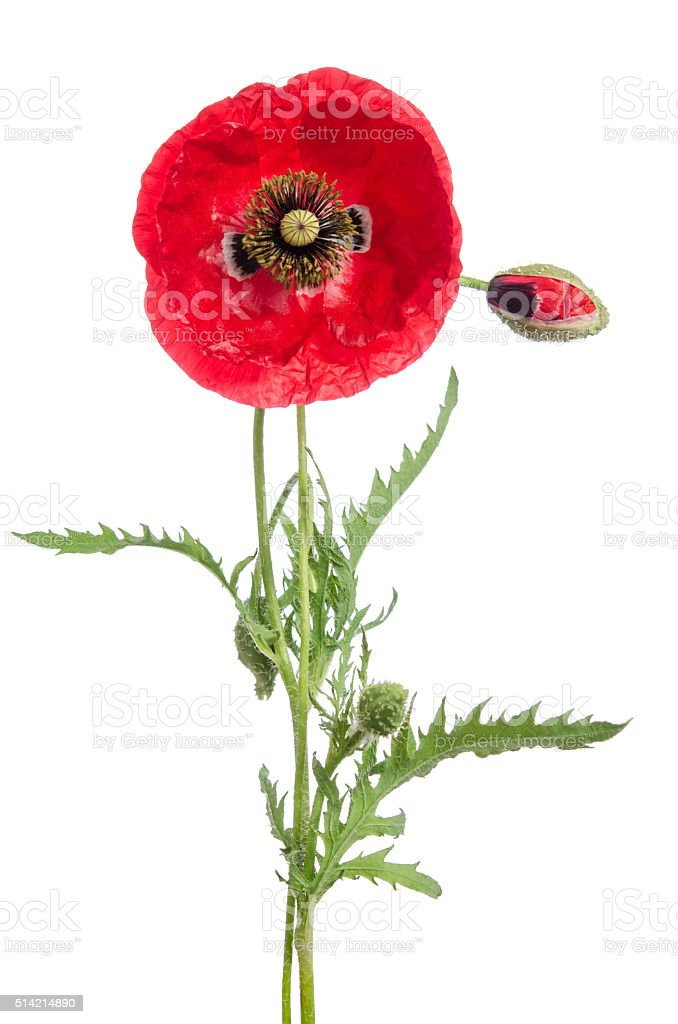 single red poppy isolated on white stock photo