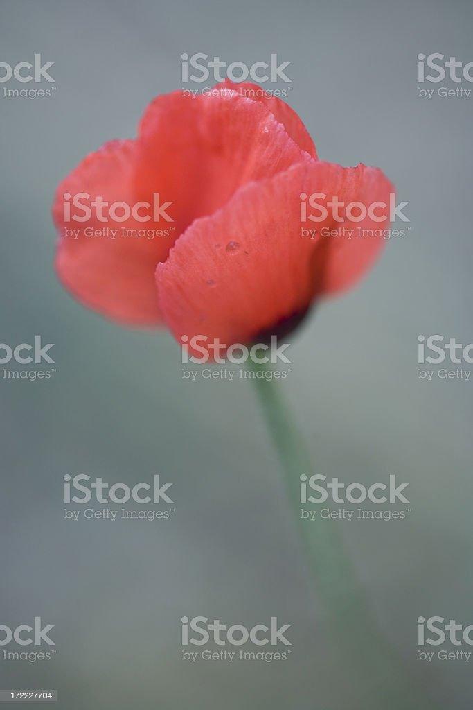 Single Red Poppy royalty-free stock photo