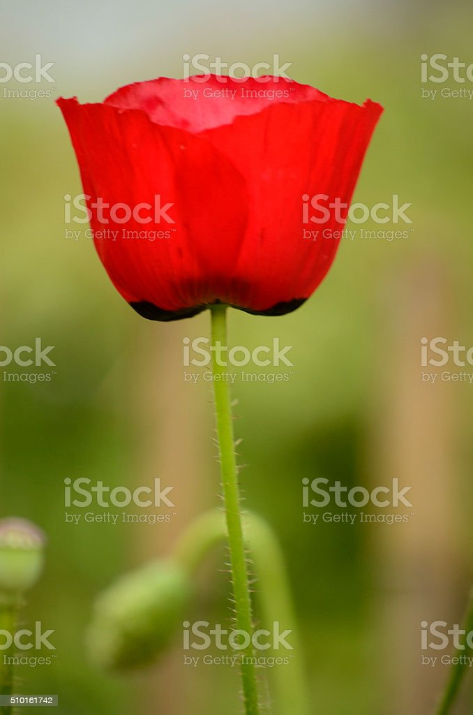 Single red poppy. stock photo