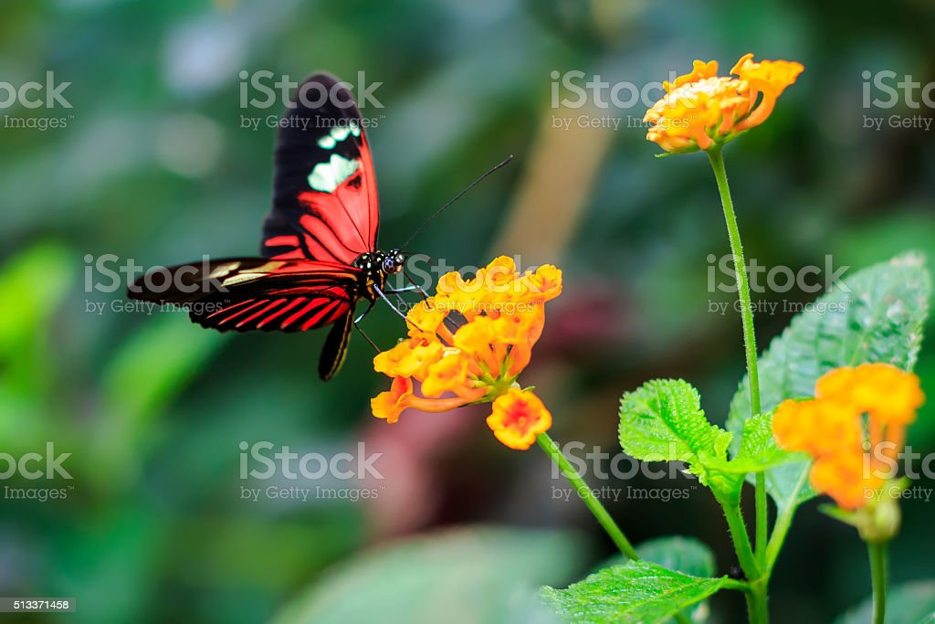 Single Red Postman Butterfly or Common Postman stock photo