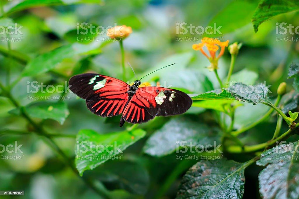 Single Red Postman Butterfly or Common Postman (Heliconius melpomene) stock photo